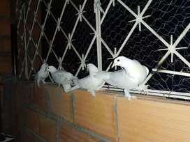 Palomas blancas BTA
