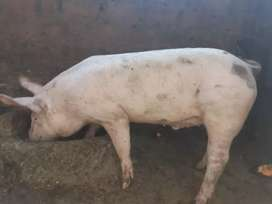 Venta de cerdo