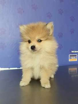 Pomerania Lulu mini muy bellos