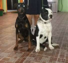 Doberman disponible para monta