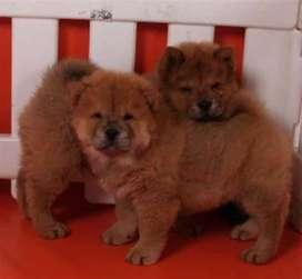 Chow chow de gran empresa veterinaria ofrecemos para mayor confianza grandes garantías para tu mascota