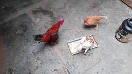 Pollos chilenos