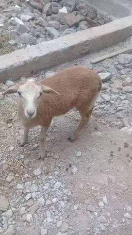 Se vende oveja hembra