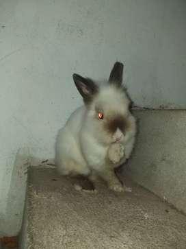 Conejo enano siames