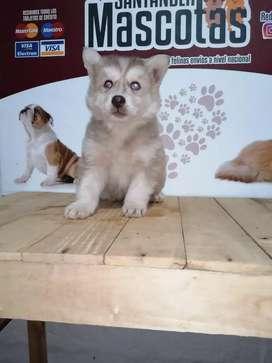 Hermosos lobos manto marrón 45 días de edad