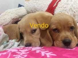 Vendo Cachorros Labrador