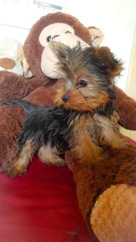 Hermoso yorkshire terrier super mini!! Inigulable!!!
