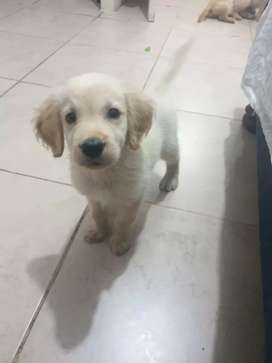 Vendo Golden retriever