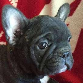 hermosos bulldog frances 58 dias amorosos frenchie