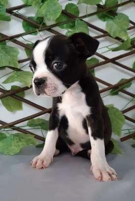 Boston Terrier puro Macho 4 meses