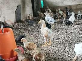 Pollos Criollos de 6 Y de 7 Semanas