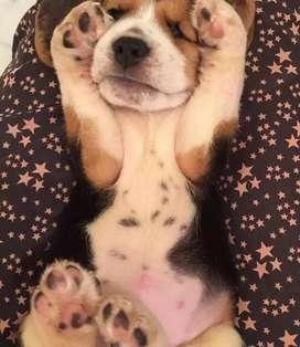 #6. Chiquititos Beagles tricolor