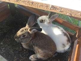 Venta de conejo + jaula