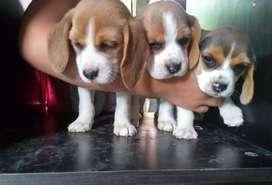 Disponibles cachorros Beagles tricolor, de 45 dias de nacidos desparasitados.