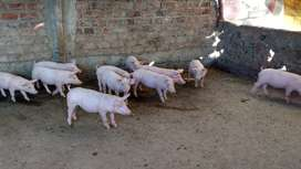 Venta de Cerdos de engorde