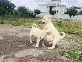 Labrador - -