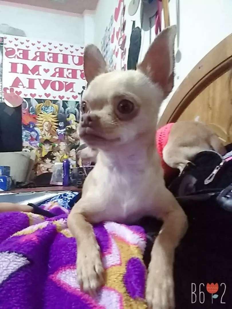 Servico de monta Chihuahua Minitoy 0
