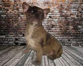Bulldog Frances Black Merle