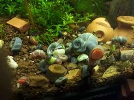 CARACOLES PLANORBIS BLUE  ACUARIO