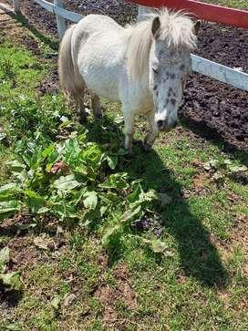 Apaloosa macho pony hermoso!