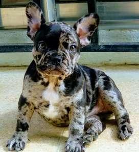 Hembra Bulldog francés blac Merle