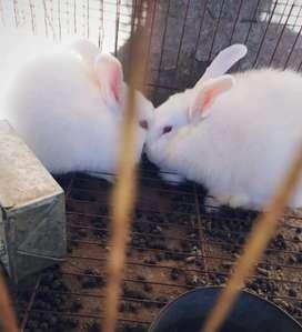 Conejos machos
