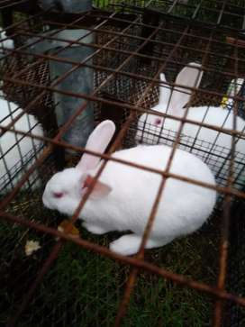 Vendo conejos puros