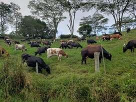 Venta de Vacas de Leche Alta Genética
