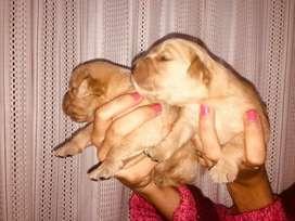 Vendo Hermosos Cachorros Golden