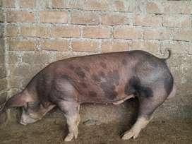 Vendo cerdo rematador