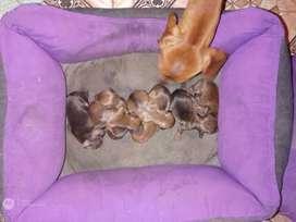 Cachorros Salchicha Dashchaund mini