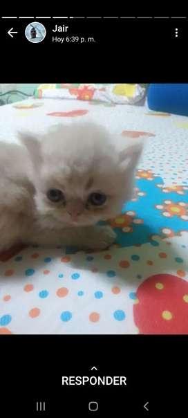 Hermosos gatos persa para la venta
