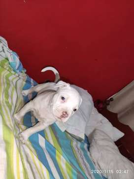 CACHORROS AMERICAN BULLY Y PITBULL RED NOSE