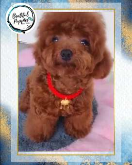 Lindos Caniches Cariñosos Beatiful Puppies