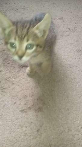 Regalo gatitos American shortain