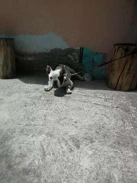 Bulldog frances adulto
