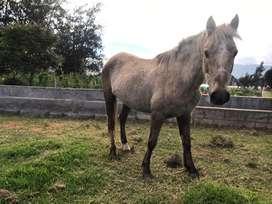 Pony de venta