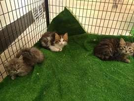 Gatos angora