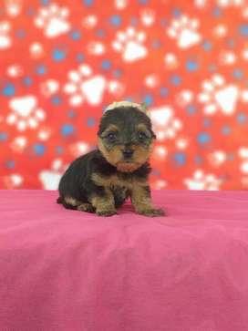 Cachorritos yorkie terrier con primera vacuna totalmente garantizados