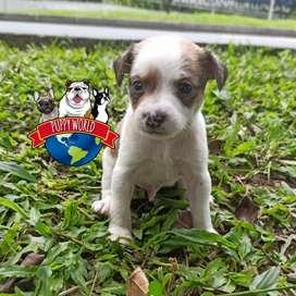 Hermosos Fox Terrier y otras razas