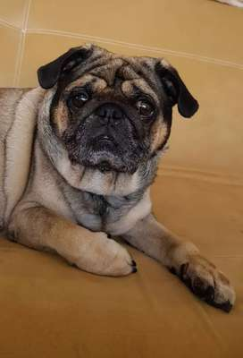 BUSCO NOVIA PUG.  No se cobrara monta