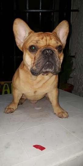 Bulldog Francés para Montas