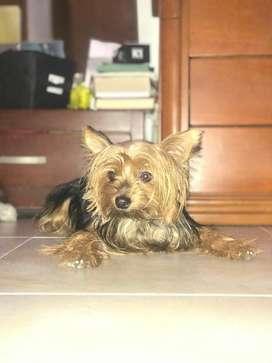 Busco Novia, Soy Yorkshire Terrier