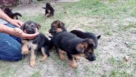 Hermosos cachorros de PASTOR ALEMÁN