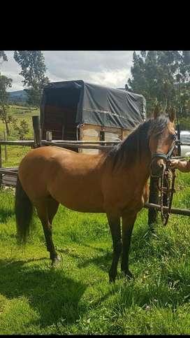 Vendo lindo caballo paso fino,