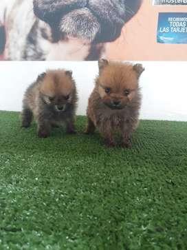 Consentidos cachorros Pomerania