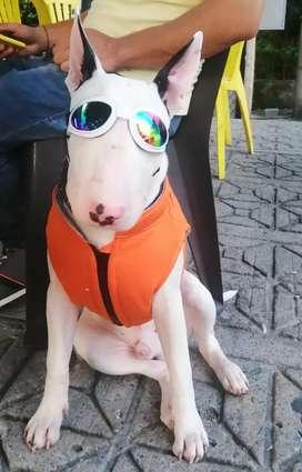 Bull terrier busca novia
