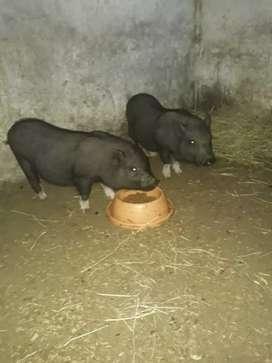 Se vende pareja de mini pig.
