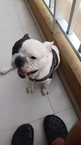 Vendo lindo bulldog frances con 12 meses recién cumplidos muy bien educado con todas sus vacunas