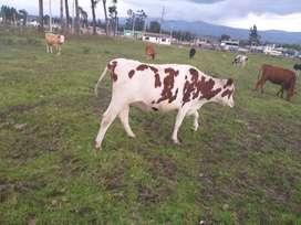 Vendo hermosas vacas